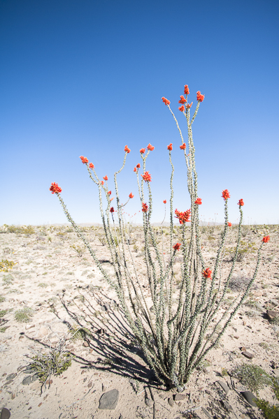 desert_flowers-1