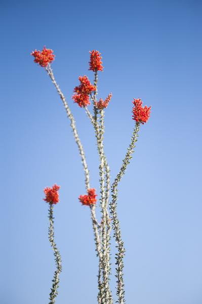 desert_flowers-2