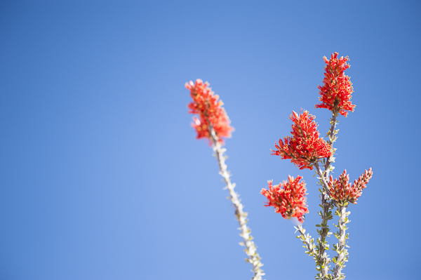 desert_flowers-3