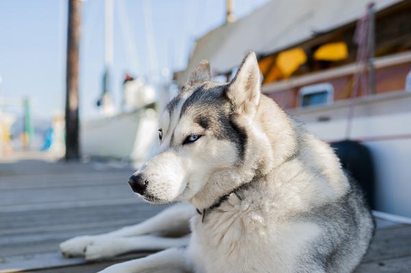 husky_dog-1