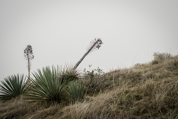 yucca_field_big_sur-3