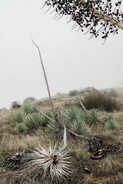 yucca_field_big_sur-4