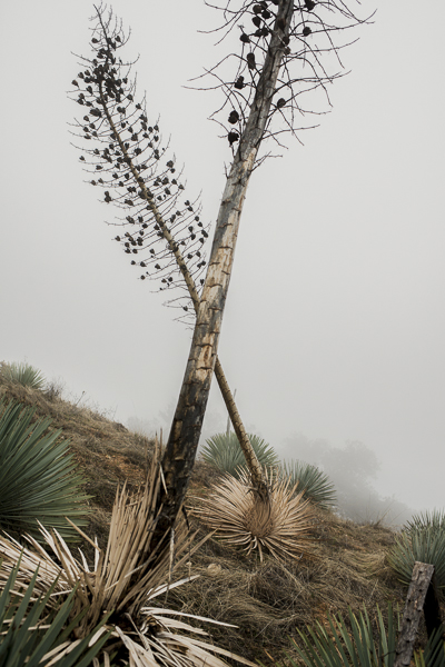 yucca_field_big_sur-6